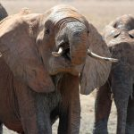 Tusks are enormous front teeth of the elephants that keep growing