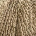 The tusks of the elephants are used to dig for roots