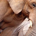 The scientists reckon that the elephants prefer their left or right tusk just like we do our left or right hand