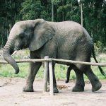 A male elephant often lives longer