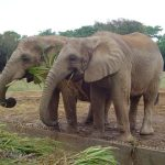 Elephants are intelligent creatures with complex consciousness and strong emotions