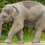 One year old Elephant - Ludwig - walking