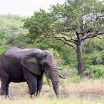 Across Africa elephant has inspired respect from people giving it a strong cultural significance