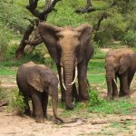 Across Africa the elephants have inspired respect from people giving them a strong cultural significance