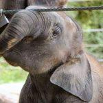 The male elephant often lives longer than female elephants
