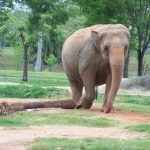 Elephant is a tourism magnet as it is the icon of the continent