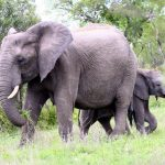 Elephants play an important role in maintaining the biodiversity