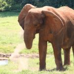 An elephant lives in family groups