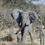 An older female is the matriarch of the elephant herd