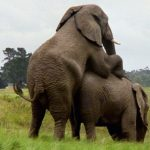 Elephants are extremely long-lived