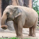 Elephants live in family groups known as herds led by an older female