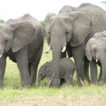 The elephant lives in family groups known as herds led by an older female