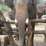 An elephant lives in family groups known as herds led by an older female who is the matriarch of the herd