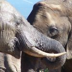 The elephants live in family groups known as herds led by an older female who is the matriarch of the herd and uses her experience and old age to protect the herd