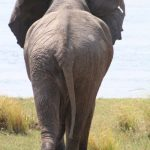 The Kenyan elephant is extremely long-lived