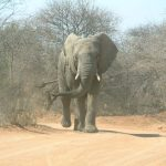 An older female who is the matriarch of an elephant herd leads it and uses her experience and old age to protect and show it to food and water