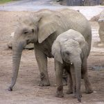 Female elephants stay with the same herd