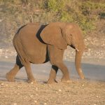 A Kenyan elephant is extremely long-lived