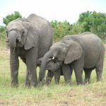 A female elephant stays with the same herd
