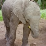 Female elephant stays with the same herd