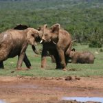 A female elephant stays with the same herd all its life