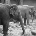 Kenyan elephants are long-lived, surviving to 60 to 70 years with male elephants often living longer than females