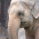 The Kenyan elephant is long-lived, surviving to 60 to 70 years with male elephants often living longer than females
