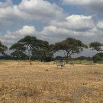 A zebra's great stamina helps it outrun predators