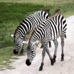 Zebra's stripes are horizontal on the legs and at the rear