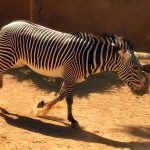 Plains zebra belong to the subgenus Hippotigris