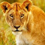 http://www.123rf.com/photo_10730633_beautiful-wild-african-lioness-portrait-savanna-game-drive-wildlife-safari-animals-in-natural-habita.html