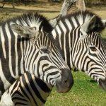Zebra species do not interbreed