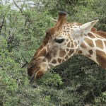 Giraffe is the tallest living animal