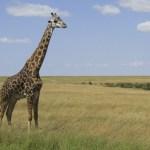 Giraffes belong to the Mammalia Class