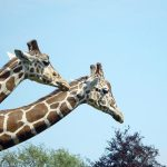 Giraffe is characterized by its long neck, long legs, and distinctive spotted pattern