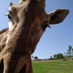 A giraffe is the tallest land animal