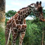 Giraffe legs and neck are 6 feet long each