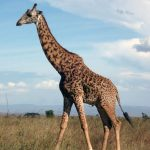 The legs of a giraffe are 6 feet but the back legs look shorter than the front legs