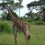 The legs of a giraffe are 1.8 meters long