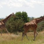 The legs of giraffe are 1.8 meters long
