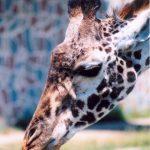 Giraffes' closest relatives are the okapis