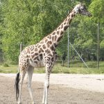 Giraffes have a small hump