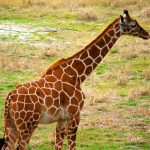Giraffe has a small hump