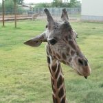 People believed that the giraffe was a cross between a camel and a leopard
