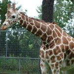 A recent study of giraffe genetics concluded that there are four distinct species of giraffes