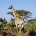 The giraffe's coat colors vary from practically black to light tan