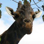 Giraffes' markings are as unique as our fingerprints