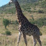 A Masai giraffe has markings that look like oak leaves