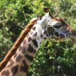 Masai giraffe has markings that look like oak leaves and are as individual as our fingerprints