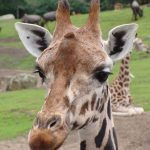 Masai giraffes have markings that look like oak leaves and are as individual as our fingerprints